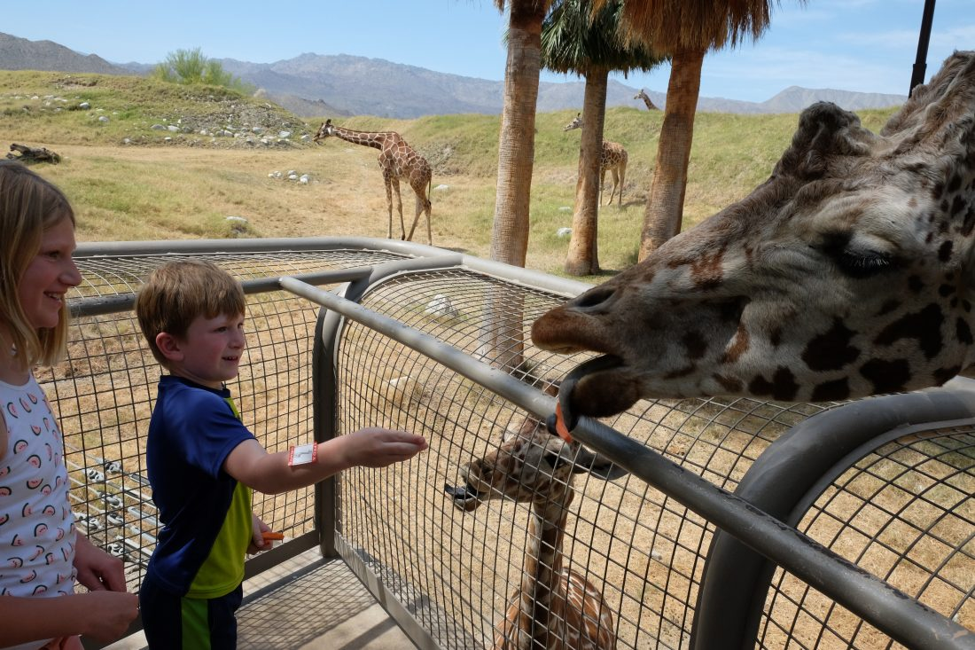 Feeding the mother giraffe too! Palm Springs Living Desert