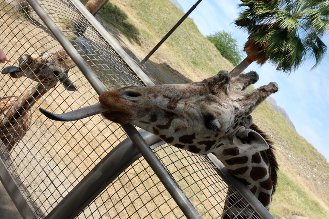 A fun experience to feed the giraffes at the Palm Springs Living Desert