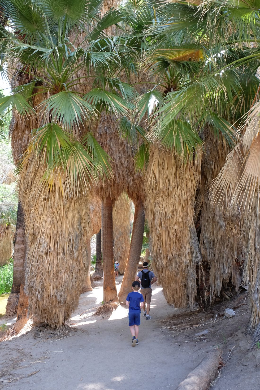 Amazing tall palms on the Palm Canyon trail. Palm Springs