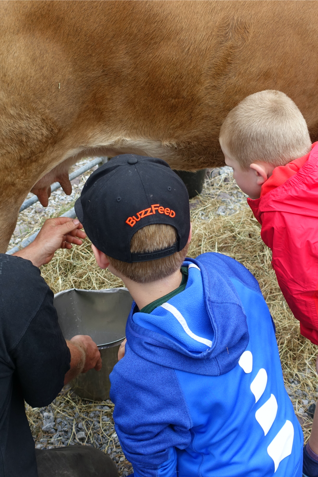 Learning how to milk a cow at Blueberry Hill Farm
