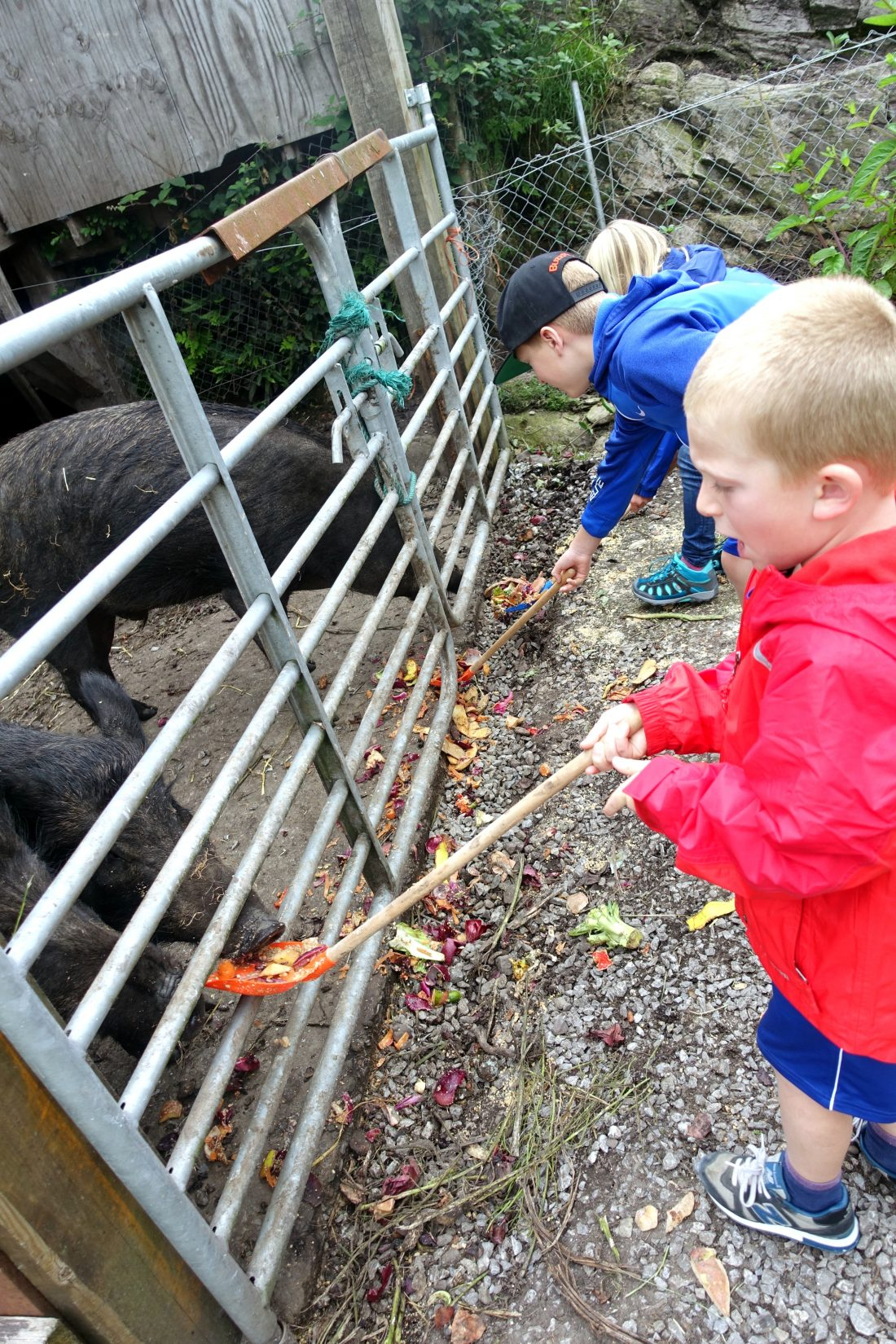 Feeding pigs at Blueberry Hill Farm