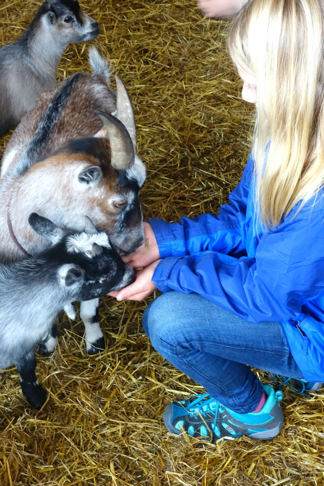 Feeding the baby goats at Blueberry Hill Farm