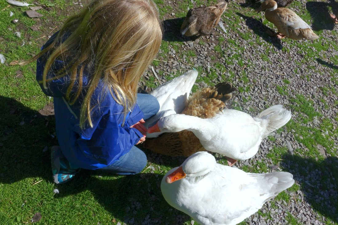 Ducks at Blueberry Hill Farm