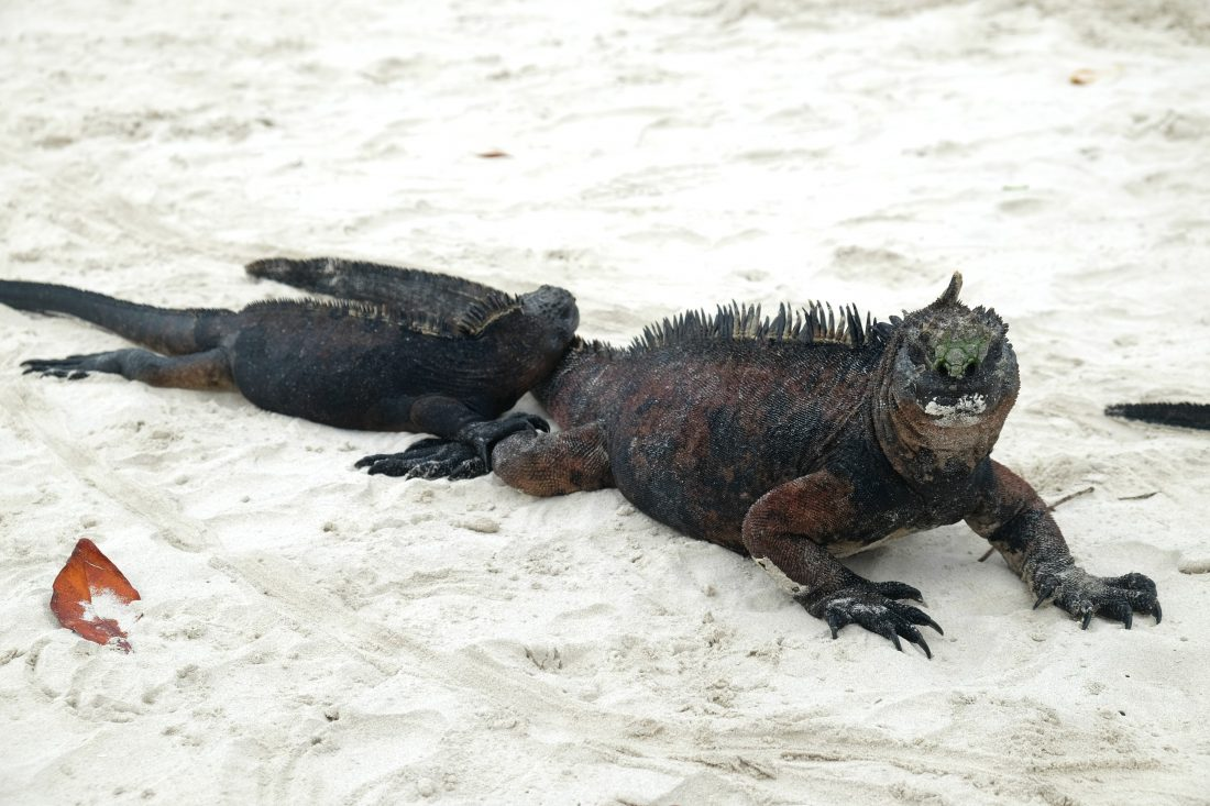 Marine iguana with a salt mustache