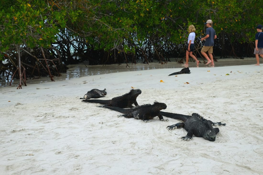 Marine iguanas warming up on the sand near Tortuga Bay on Santa Cruz Island