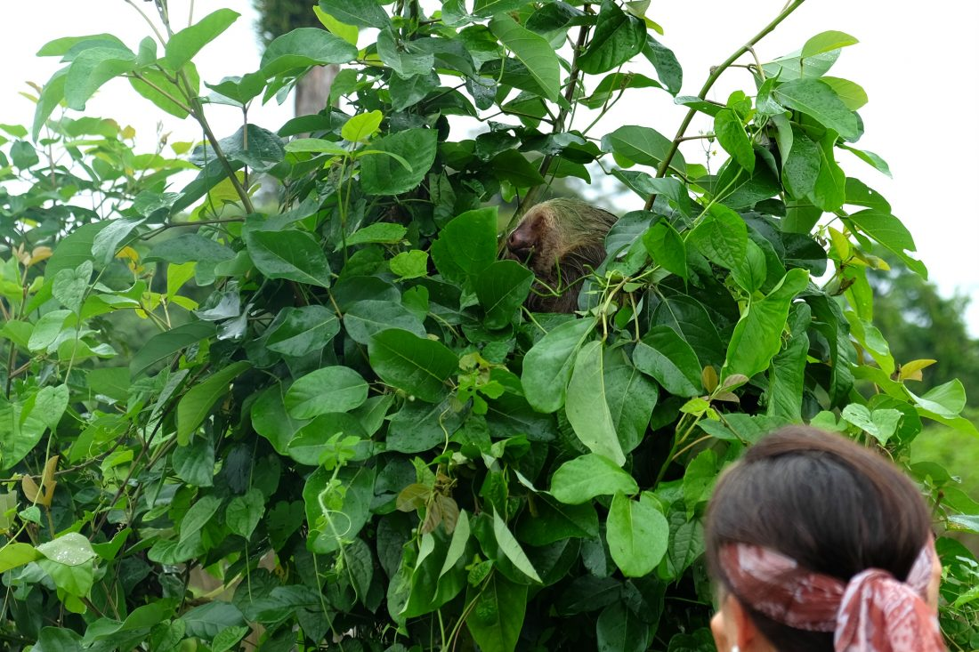Our first wildlife spotting - a sloth! Notice his green fur? That's algae! Costa Rica.