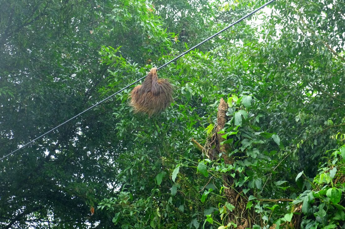 A sloth hanging from a wire on our way to Tortuguero. Costa Rica