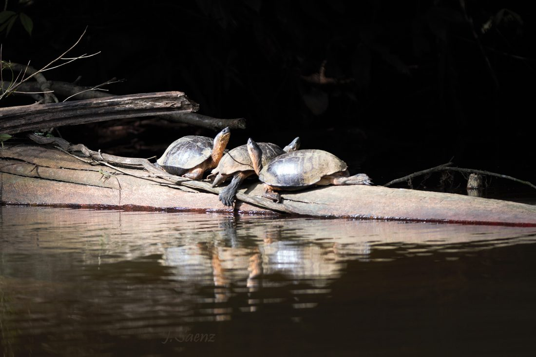 Three turtles basking in the sun. Tortuguero Costa Rica