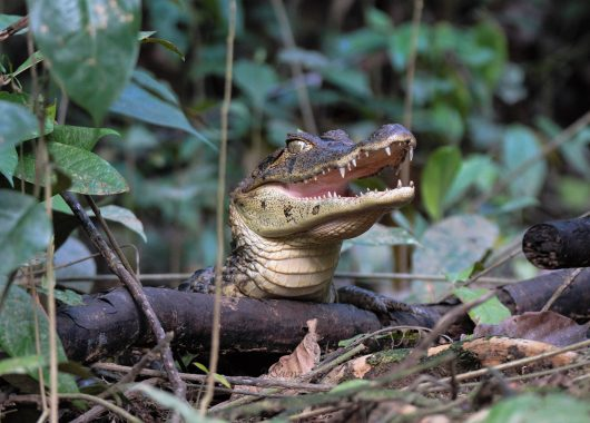 A caiman spotted by our daughter. Tortuguero, Costa Rica