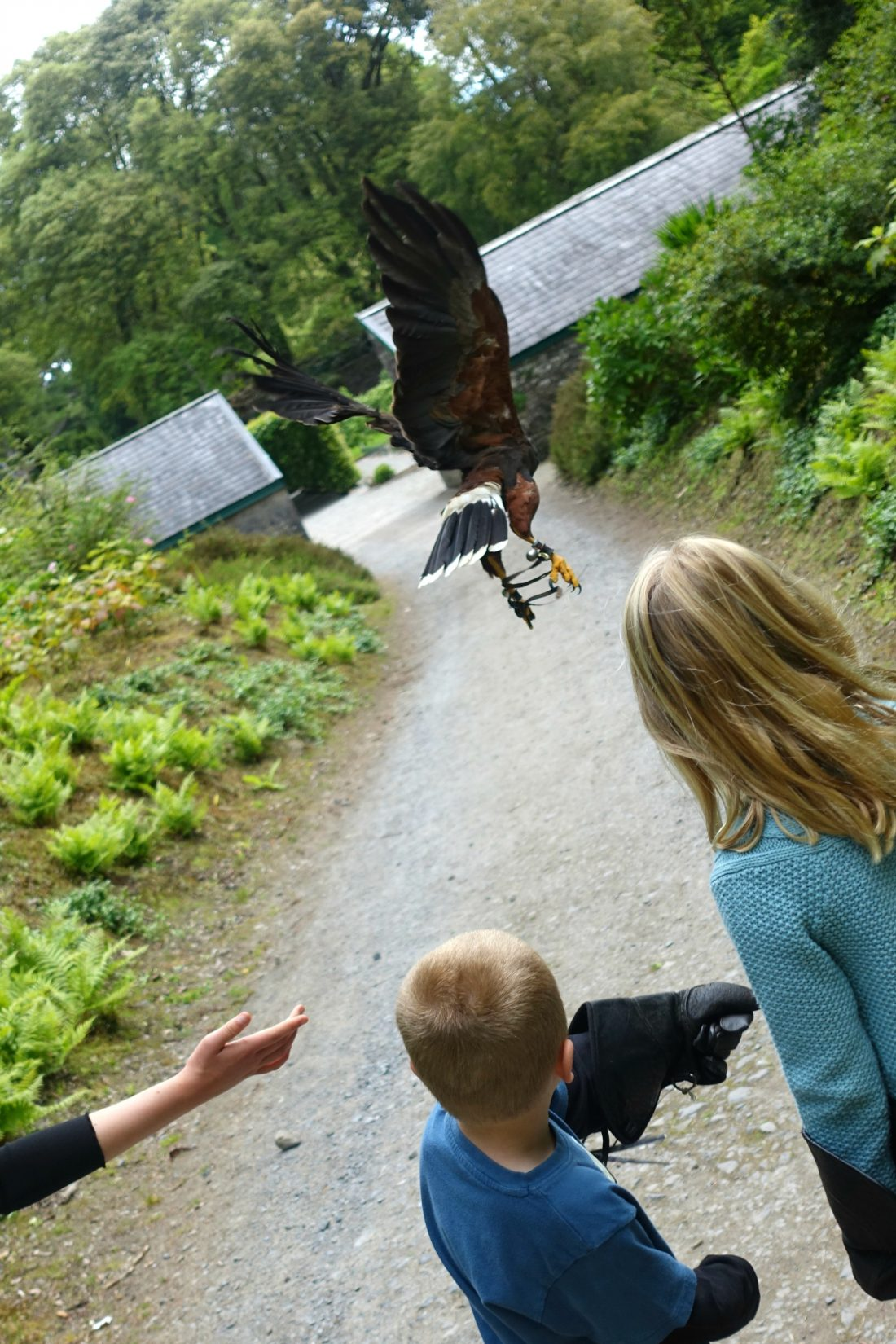 The hawk flying off to a tree. Ashford Castle. County Mayo, Ireland