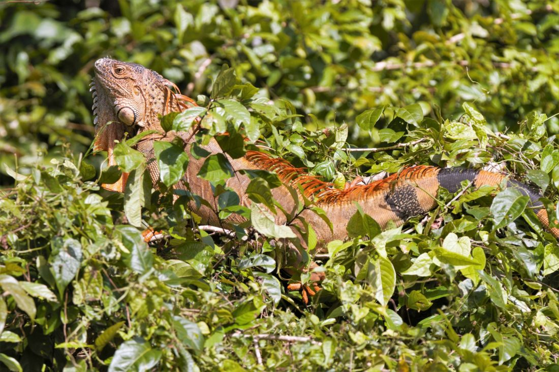 Iguana perched high in a tree. Tortuguero Costa Rica