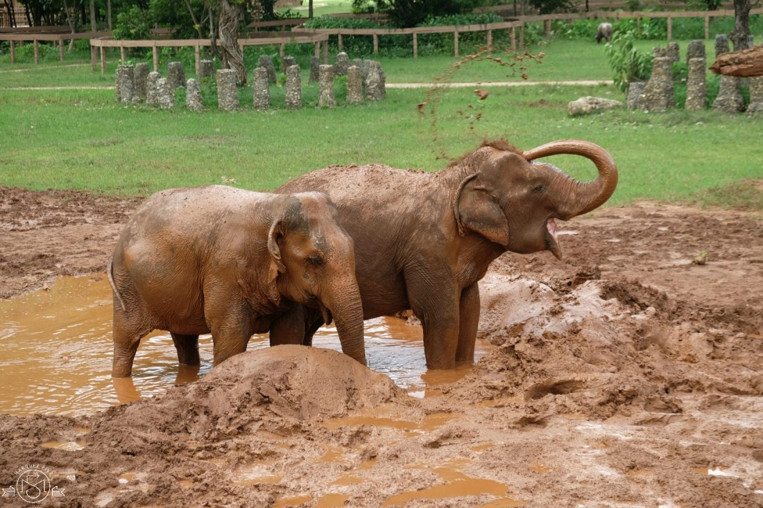 The elephants loved playing in the mud!