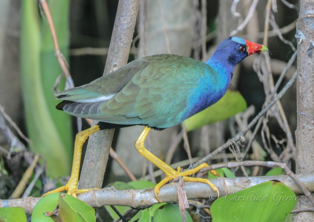 Birds of the Panama Canal Rainforest