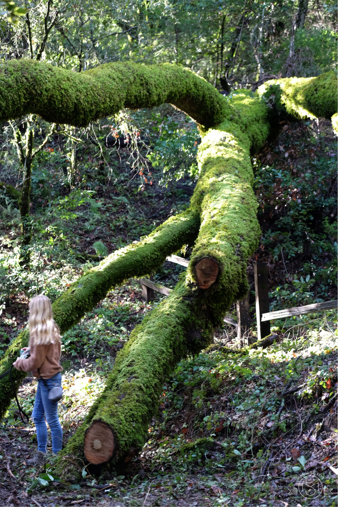 A very mossy fallen oak. Coal Creek Preserve. San Mateo County