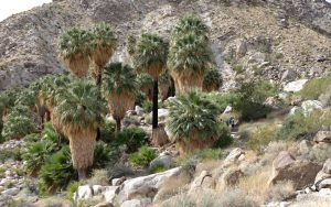 Reaching the palm oasis! Fortynine Palms Joshua Tree National Park