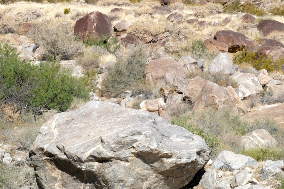 Ran into this Big Horn Sheep within the first 10 minutes of the hike! Tahquitz Falls Hike, Palm Springs California