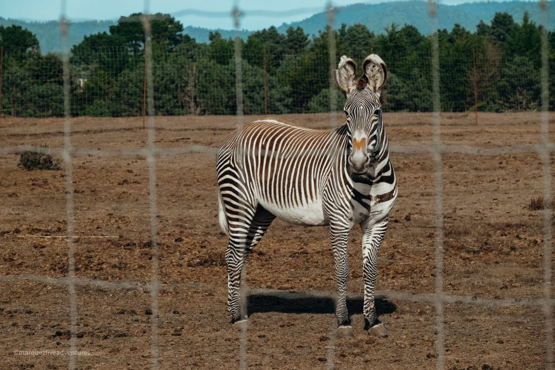 """Grevy's Zebra - identified by his """"Mickey Mouse"""" ears. B Bryan Preserve. Point Arena California. Mendocino County"""