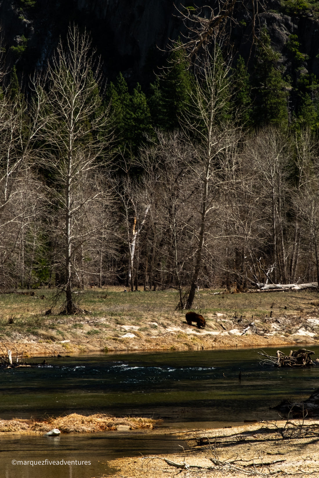 We spotted a bear along the river! Yosemite National Park. California