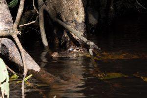 Caiman lurking in the water. Tortuguero Costa Rica