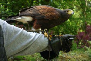One of our hawks, Killary. Ashford Castle. County Mayo, Ireland