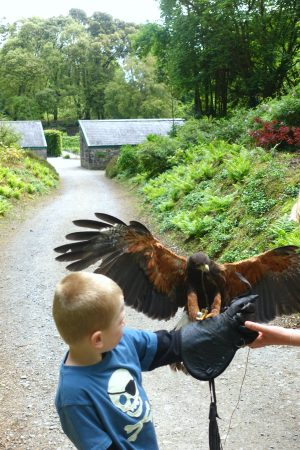 The hawk landing for his treat. Ashford Castle. County Mayo, Ireland