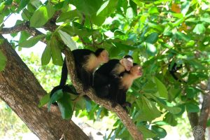 White faced monkeys at Manuel Antonio Park