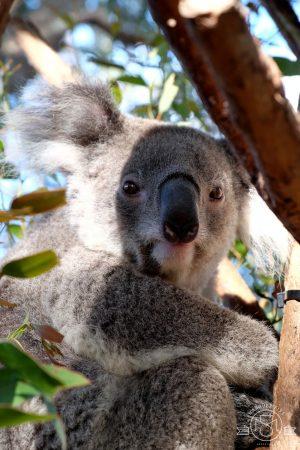 Koala up close on the VIP Tour at Taronga Zoo. Sydney, Australia