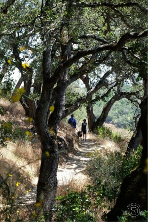 Hiking down among the oaks on the Dick Bishop trail at Pulgas Ridge