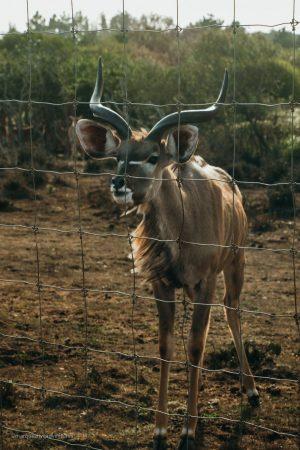 Male Greater Kudu Antelope. B Bryan Preserve. Point Arena California. Mendocino County