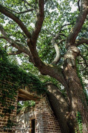 Huge oaks everywhere. Charleston, South Carolina